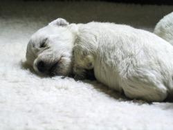 Newboard white Westie puppy asleep on white furry bed - looks like a baby polar bear