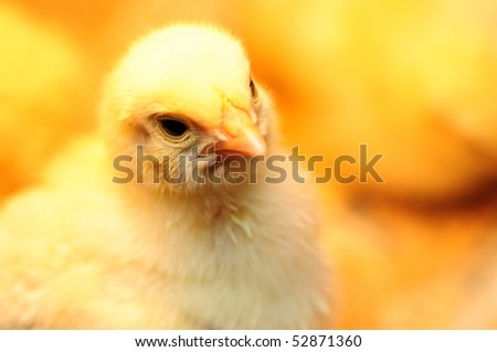 stock-photo-newborn-baby-chicken-on-chicken-farm-52871360.jpg
