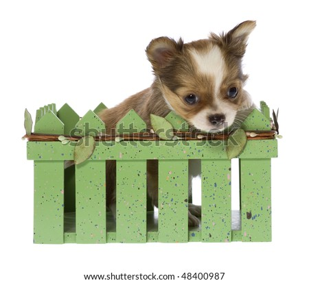 cute long haired chihuahua puppies. long haired chihuahua puppy