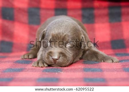 Newborn brown labrador puppy on red