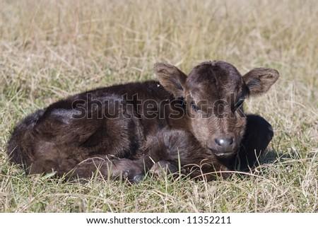 Newborn calf in field