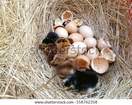 newborn chick in the nest