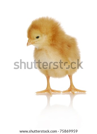 newborn chick standing isolated on white background - rhode island red - stock photo