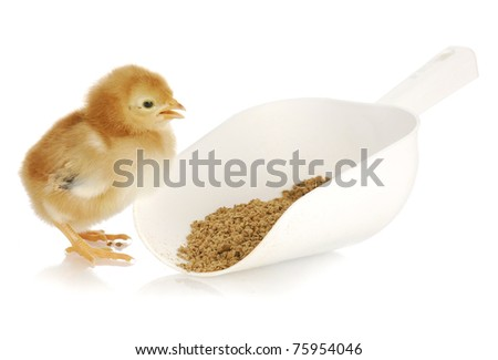newborn chicks eating from scoop with feed on white background