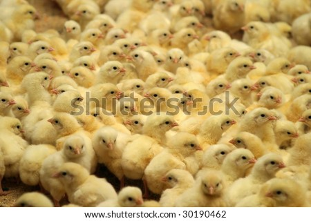 newborn chicks in the poultry farm