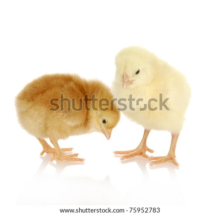 newborn chicks - white and brown one day old chicks on white background