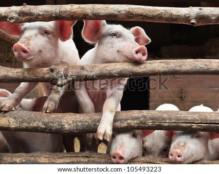 Newborn curious pigs in a stable climbing the wooden fence