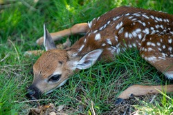 Newborn Deers bambi and wild animals concept. Fawn Resting. Baby roe deer. Young wild roe deer hidden in tall grass. Capreolus capreolus. New born roe deer, wild spring nature