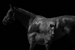 Newborn filly foal standing close to horse mother isolated on black background. Side view of two horses in black and white.