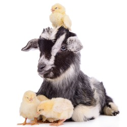 newborn goat and chickens. farm animals. Isolated on white background