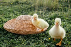 Newborn goslings (ducklings) in the outdoors in a straw hat. Setting sun.