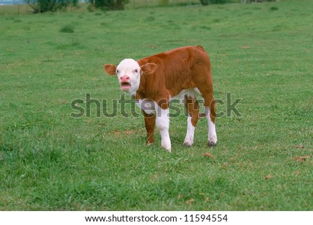 Newborn Hereford calf bawls for its mother - stock photo