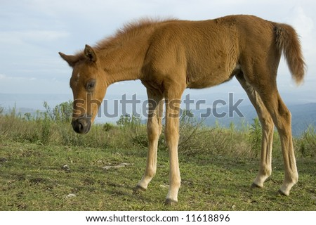 Newborn horse in Tagaytay City, Philippines