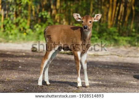 Newborn Javan banteng (Bos javanicus), also known as the tembadau. Stockfoto ©
