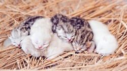 Newborn kittens. Scottish purebred cat. Newborn blind kittens in the first days of life. Kittens lie isolated on the hay.