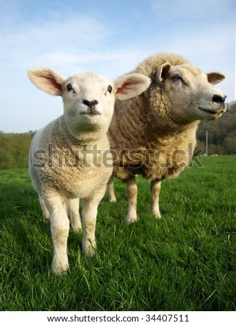 Newborn Lamb and Mother Grazing in a Field