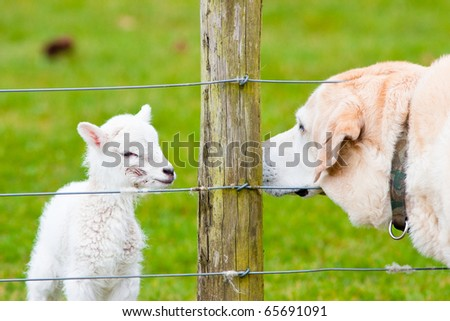 Newborn Lamb With Birth Marks and Labrador Dog Sniffing Each Other