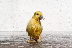 NewBorn little Cute wet duckling under rain drops. Raining wather concept.