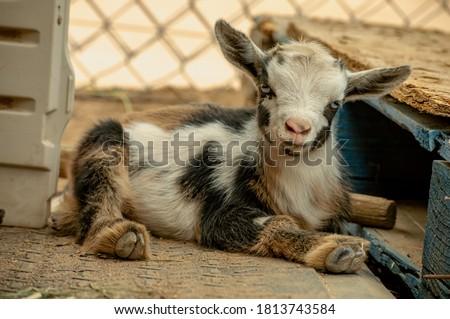 Newborn Nigerian Dwarf goat laying down relaxing.  stock photo