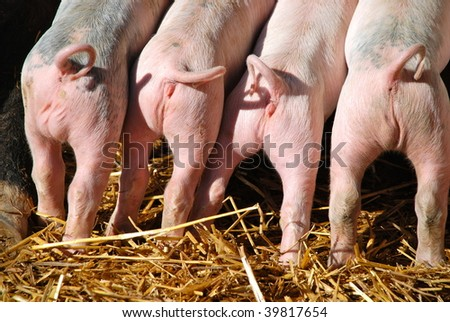 newborn piglets competing to nurse.