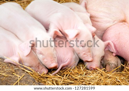 Newborn piglets sleeping after eating next to his mother