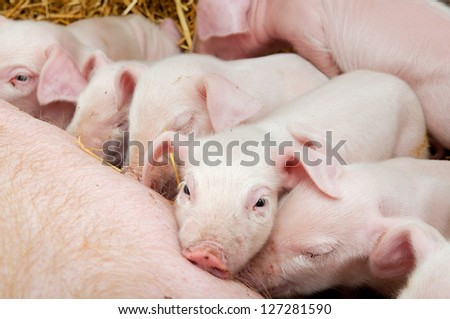 Newborn piglets suck the breasts of his mother.