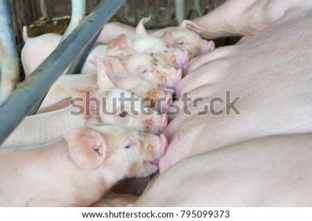 Newborn piglets suck up the milk from breast in the farm. #795099373