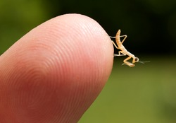 Newborn praying mantis nymph on the tip of a finger.