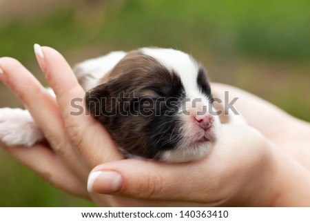 Newborn puppy dog resting in woman hands - closeup