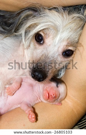 Newborn puppy of breed the Chinese crested dog and his mother on a hand of the owner