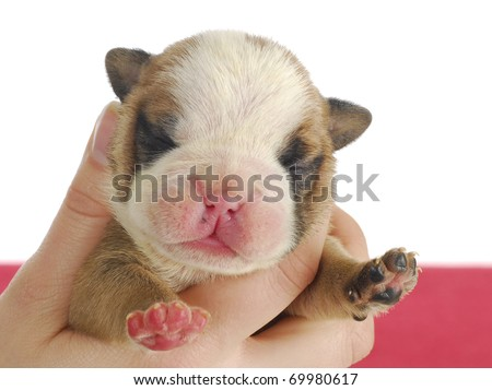 newborn puppy - one week old english bulldog puppy