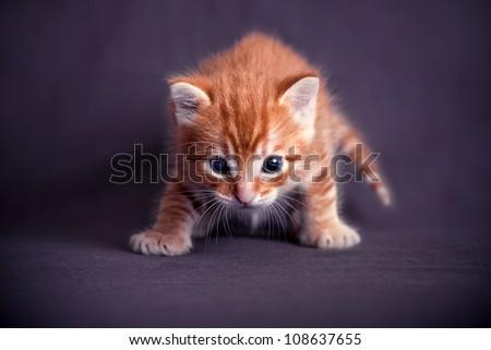 Newborn red kitten in a dark blue background
