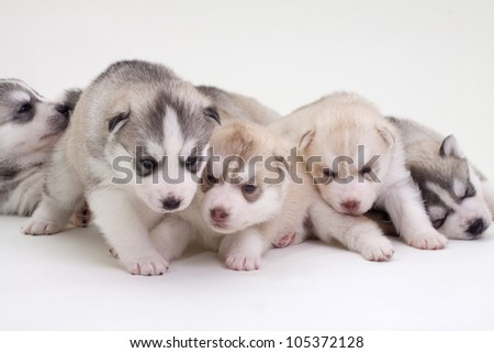 newborn siberian husky puppies - stock photo