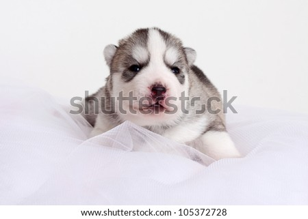newborn siberian husky puppy