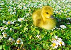 Newborn spring gosling sitting in a field of daisies