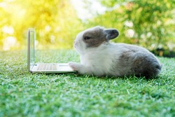 Newborn tiny grey white bunny with small laptop sitting on the green grass. Lovely baby rabbit looking at notebook on lawn natural background. Easter fluffy rodent concept