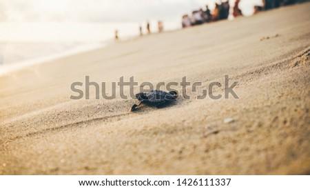 Newborn turtles near the sea wave , close-up turtle, turtle sanctuary hatchery located on the beach.