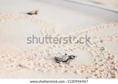 Newborn turtles run to the sea wave , close-up turtle, turtle sanctuary hatchery located on the beach.