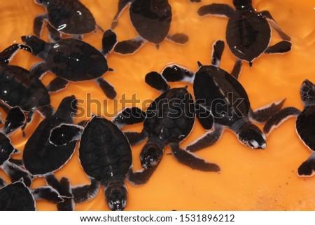 Newborn turtles. Turtles just born in Oman