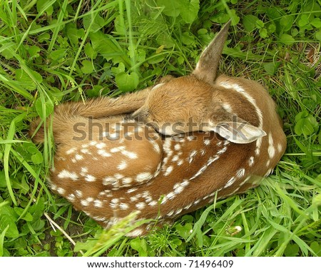 Newborn Whitetail deer fawn curled up in the grass.