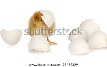 newborn yellow baby chicken isolated on white background