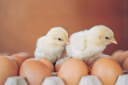 Newborn yellow Chick. Cute little chicken coming out of a brown egg.