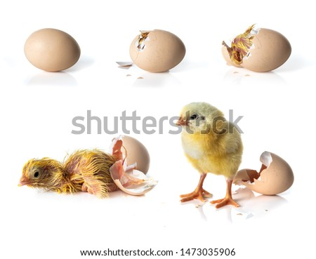 Newborn Yellow chicken hatching from egg on white background Stockfoto ©