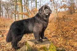 Newfoundland dog breed in an outdoor. Spring walk with a dog. Big dog.