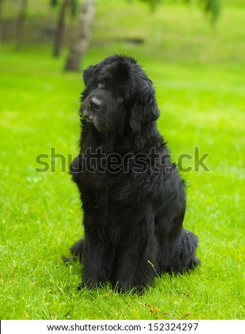 Newfoundland dog in front