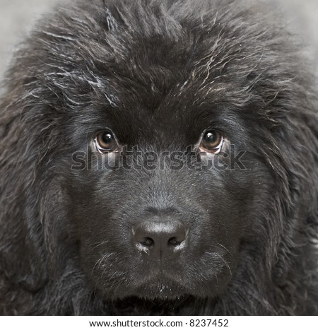Newfoundland Puppies on Newfoundland Dog Puppy 4 Months Age Stock Photo 8237452   Shutterstock