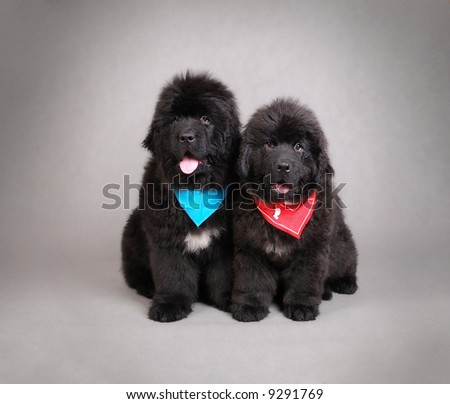 Newfoundland Puppies on Newfoundland Puppies Stock Photo 9291769   Shutterstock