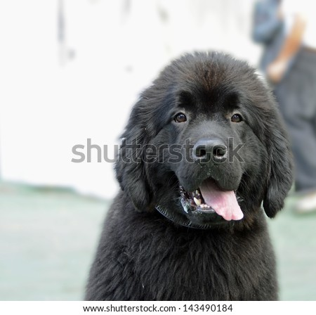 Newfoundland Puppy Face With Tongue