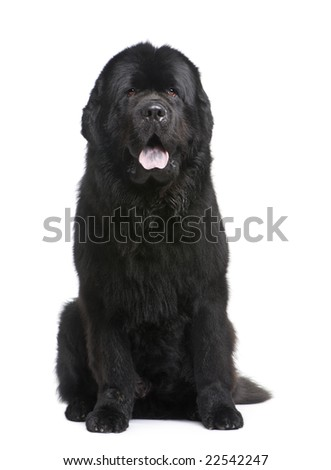 Newfoundland (3.5 years) in front of white background