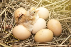 Newly born chick hatched from an egg group on the straw in background of husbandry natural animal lifestyle in garden organic farming.